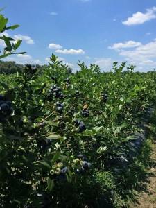 2015-fresh-blueberries1