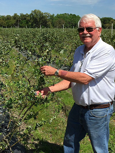 Terry Hadley inspects some of the blueberry plants for the 2015 picking season.